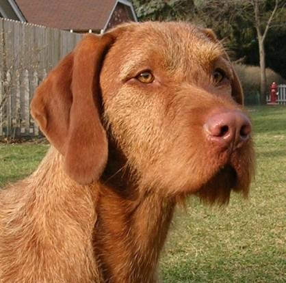 Vidor Wirehaired Vizslas