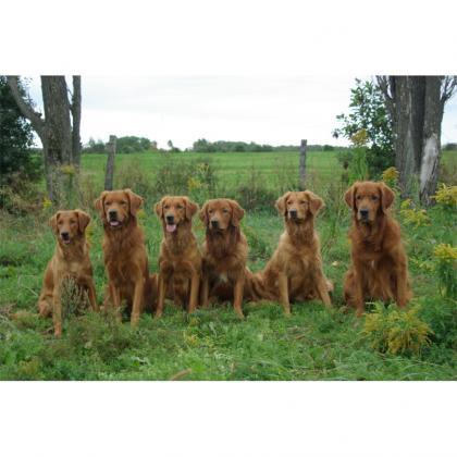 Zomarick Golden Retrievers Rustiques