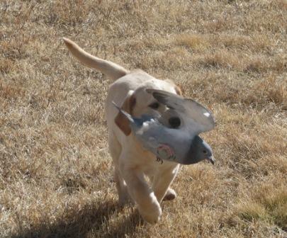 British Labrador Retrievers by Dublem Gundogs
