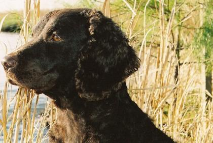 Cow Creek American Water Spaniels