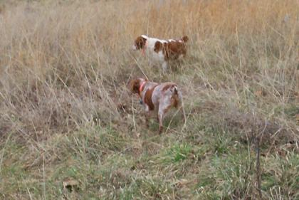 VALLEY M GUN DOGS