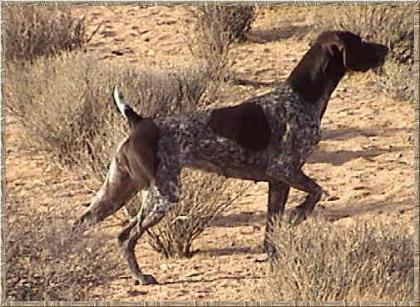 Garbonita German Shorthairs