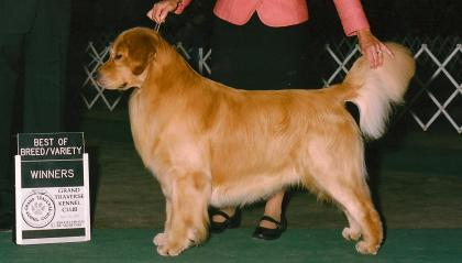 Kazam's Golden Retrievers