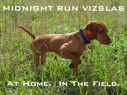 Midnight Run Vizslas