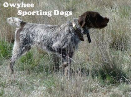 Owyhee Sporting Dogs