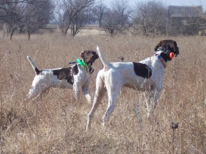 Prince's Quality Gun Dogs