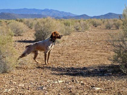 Sun Country Bretons-Home of AKC Master Hunters