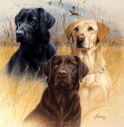 K & A Labradors