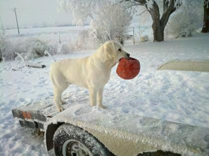 Kennel Up Idaho English Style Labradors:Lt Yellow