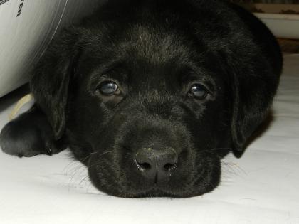 SK Labradors