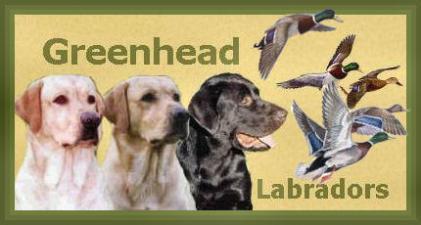 Greenhead Labradors