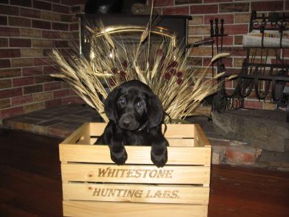 Whitestone Hunting Labs