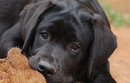 Cinnamire Labrador Retrievers