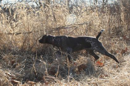 Shotgun Farm Bird Dog Training