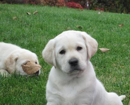 Ganderwood Labradors
