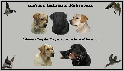 Bullock Labrador Retrievers