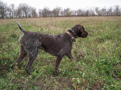 Zeus Gun Dog Training