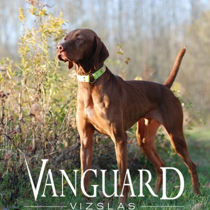 Vanguard Vizslas