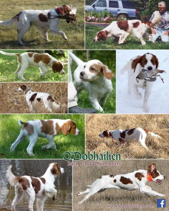 ODobhailien Irish Red and White Setters