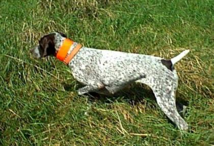SouthMtn German Shorthaired Pointers
