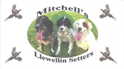 Mitchell's Llewellin Setters