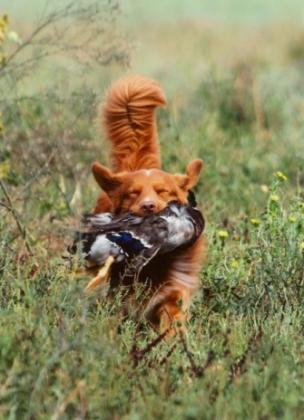 KASOMOR NOVA SCOTIA DUCK TOLLING RETRIEVERS