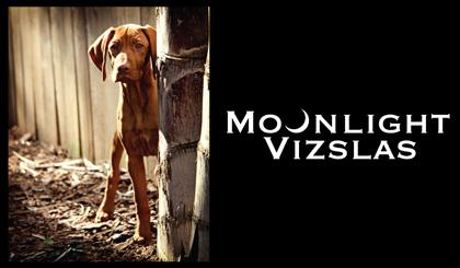 Moonlight Vizslas