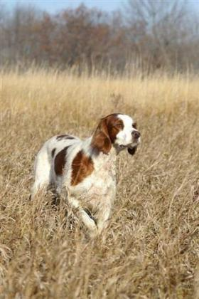 Laurel Oak Irish Red and White Setters