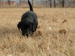 Eastman Labradors