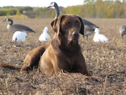 Antler Meadow Labradors