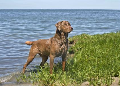 Warren Retrievers Quality Virginia Bred Labradors