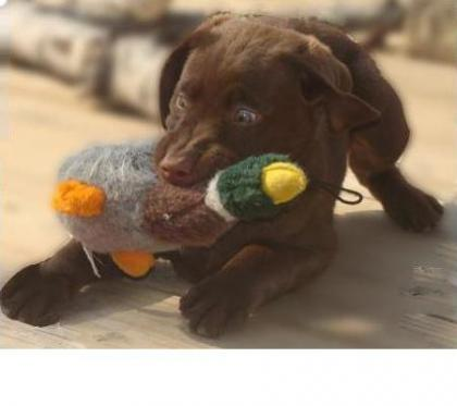 Duck Fever Retrievers
