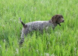 Crow Creek Kennel Minnesota German Shorthairs