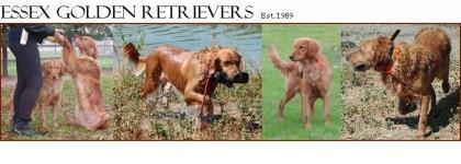 Essex Retrievers
