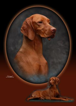 Regal Point Vizslas