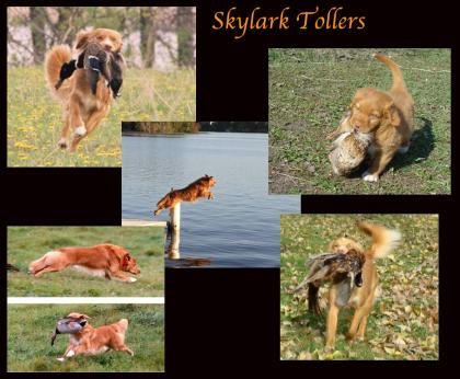 Skylark Tollers