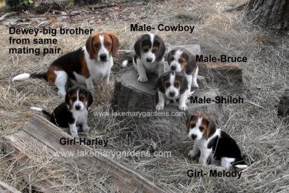 Burch`s Beagles