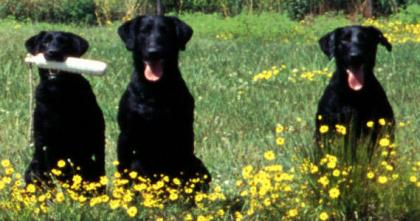 North Mountain Retrievers