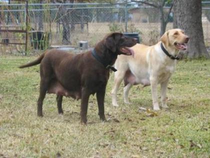 Stolte Labradors