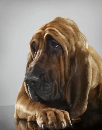 Boerner's Bloodhounds