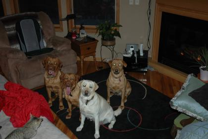 Tango's Red Labrador Retrievers