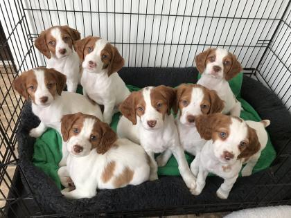 Beaupre Gun Dogs