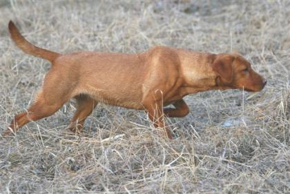 Morgan's Point Ranch- Red Pointing Labs