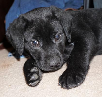Faith Haven Labradors