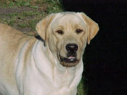 Sullivan's Labradors