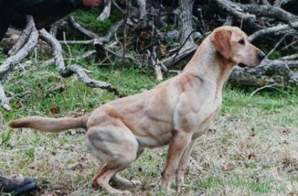 Great expectations- texas labrador breeder