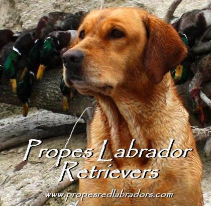 Propes Labrador Retrievers