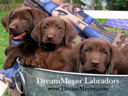 DreamMeyer Labradors