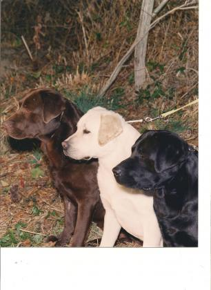 Belquest Labrador Retrievers
