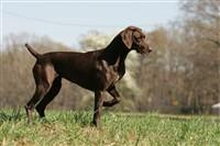 Mi Karma German Shorthaired Pointers